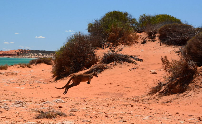Kangaroo in François Peron NP. Denham. Shark Bay. Coral Coast. Western Australia Kangaroo Australia Australian Landscape Wildlife Denham Western Australia WesternAustralia Aussie François Peron National Park Coral Coast Shark Bay Australia Travel Destinations Perth Australia Animal Themes Marsupial Animal One Animal Nature No People Sand Red Sand Arid Climate Outdoors Climate Environment