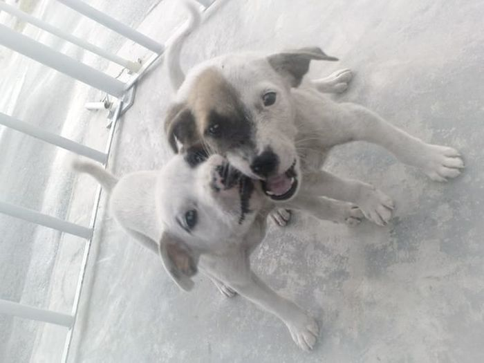 Happy Faces Puppies Happy :) Siblings Love Innocence Smiles Pets Dogs Dog Love Dogs Of EyeEm Hearts Love Buddies Mischievous Through Thick And Thin. Forever Brothers.Bubbly Face! Friendship