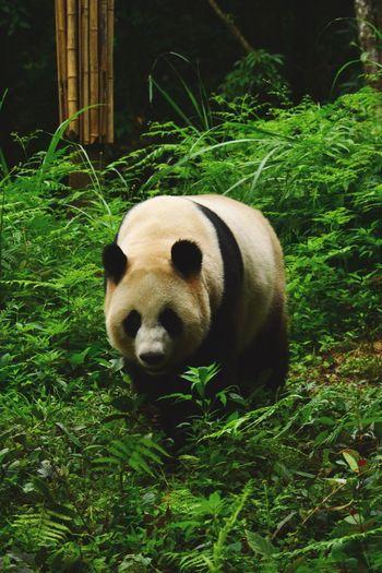 Panda bear on grass