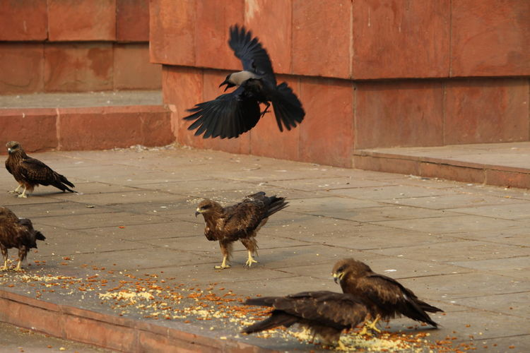 High Angle View Of Eagles And Crow On Street