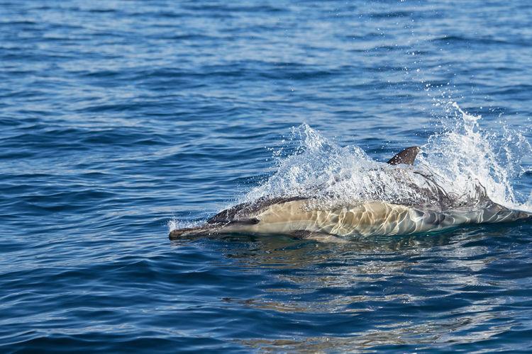 A common dolphin in algoa bay, port elizabeth