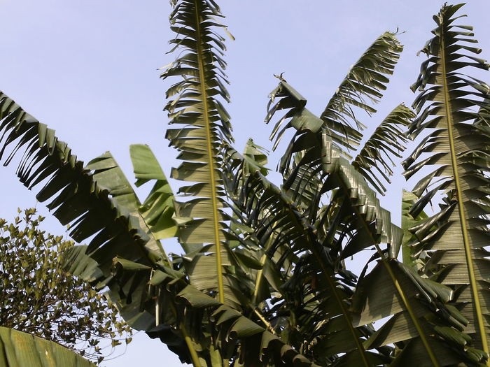 Low angle view of banana leaves against clear sky