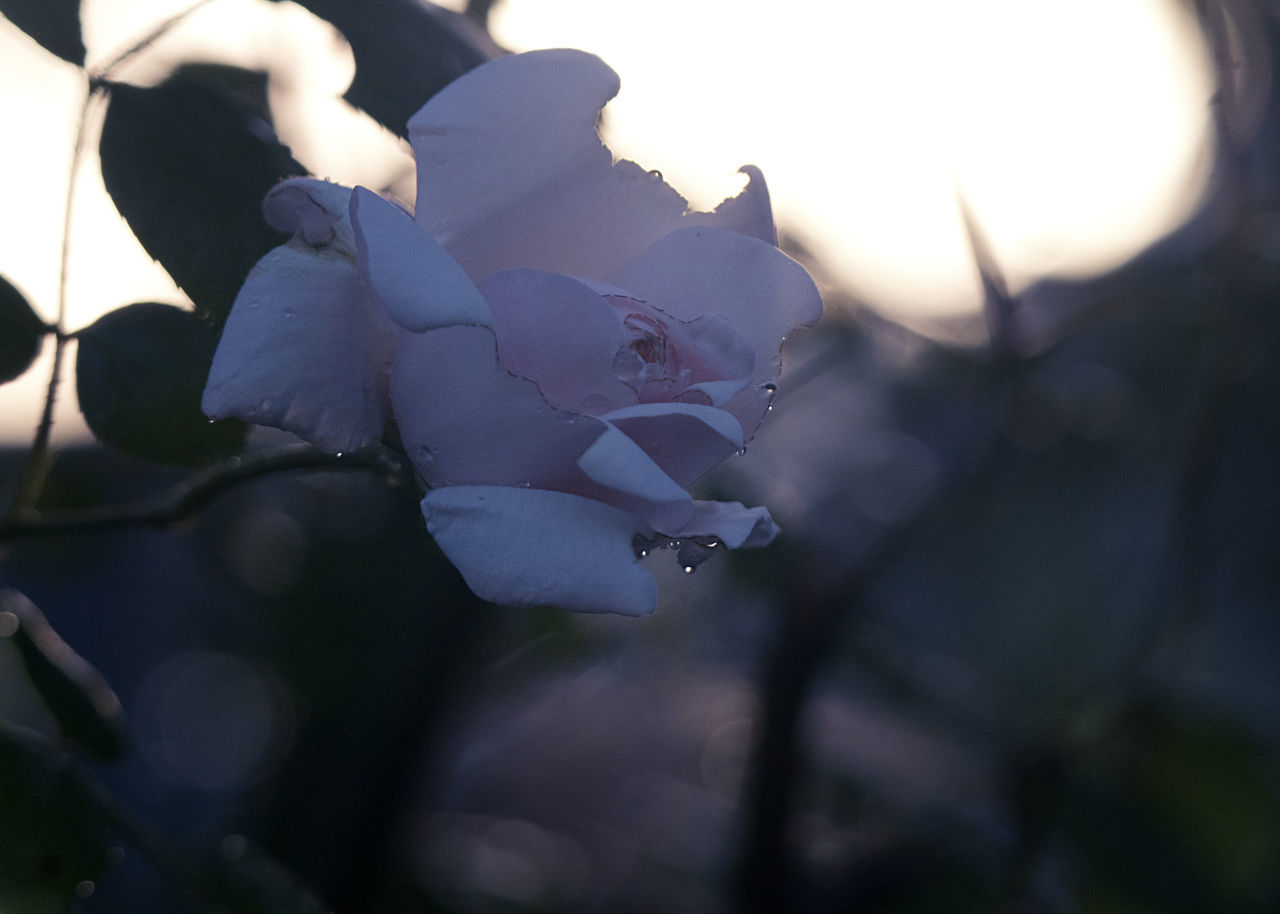 CLOSE-UP OF ROSES IN SUNLIGHT