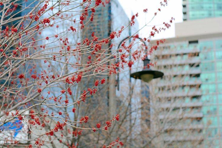Spring in the city Tree Streetphotography Toronto Red Springtime Spring Budding Tree