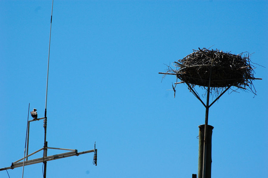 Osprey and its nest Spring Into Spring Spring Springtime Spring Has Arrived Satellite Satellite Antennas Single Bird Animals In The Wild Osprey  Osprey Nest  Ospreys, Ospreys Nesting, Birds Nesting, Birds, Birds Of Prey Birds Of EyeEm  Birds_collection Wildlife & Nature Animals In The Wild Animal Themes Nest Low Angle View Clear Sky Copy Space Day Bird Blue Nature Outdoors No People Bird Nest Perching Sky
