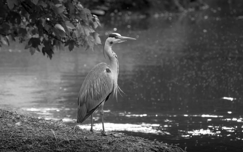 Grey heron stands as still as a statue...waiting for his dinner to swim by. Gorgeous tall bird. Lovely creatures. Heron Bird Riverside Animal Themes Animal Wildlife Animals In The Wild Beauty In Nature Bird Blackandwhite Photography Close-up Crane - Bird Day Fishing Gray Heron Grey Heron  Heron Lake Large Bird Nature No People One Animal Outdoors Tall Water Waterfront Waterside
