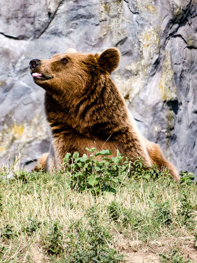 Bear 2 Sitting
