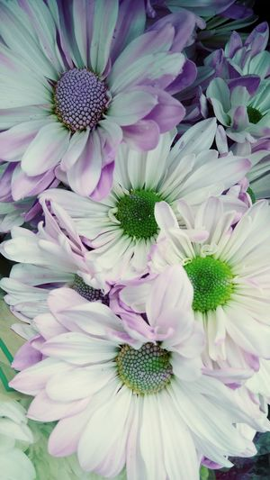 Oxeye Daisies Oxeye Daisy Oxeye Daisy Flower Flowers Purple And White Flower Loves Me, Loves Me Not Purple Petals White Petals Flower Petal Fragility Beauty In Nature Flower Head Nature Purple Close-up Freshness No People Multi Colored
