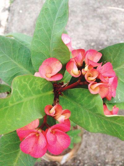 Eight Immortals Flower