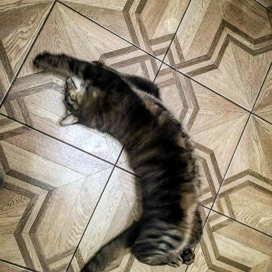Striped Pose Posing For The Camera Cat At Home Sleepy Tiled Floor