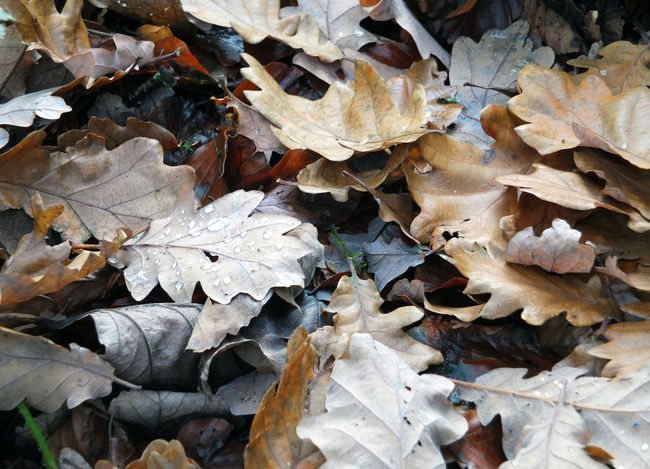dead brown autumn leaves wet with raindrops decaying on a forest floor Leaf Plant Part Autumn Leaves Dry No People Change Nature Full Frame Day Backgrounds Close-up Beauty In Nature High Angle View Field Land Abundance Outdoors Vulnerability  Fragility Maple Leaf Fall