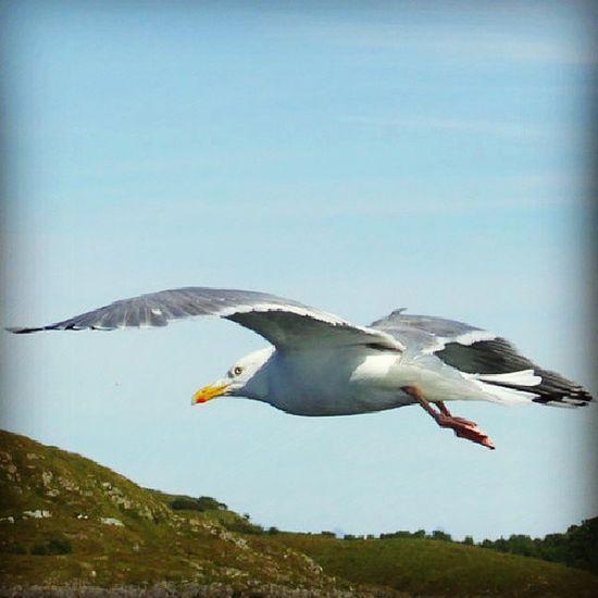 M åke Seagull Bird Fugl ilovenorway ilovenorway_nordland wetterøy