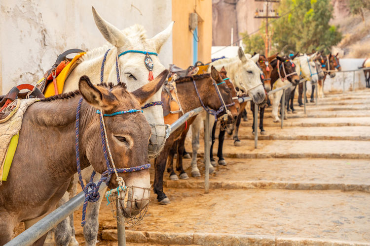 Santorini Greece Animal Mammal Domestic Animals Animal Themes Group Of Animals Domestic Pets Vertebrate Animal Wildlife Livestock Working Animal Day Herbivorous Horse Incidental People Focus On Foreground In A Row Saddle Transportation Outdoors