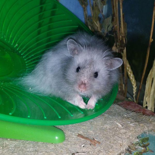 Hamster Syrian Hamster  Blue Pet