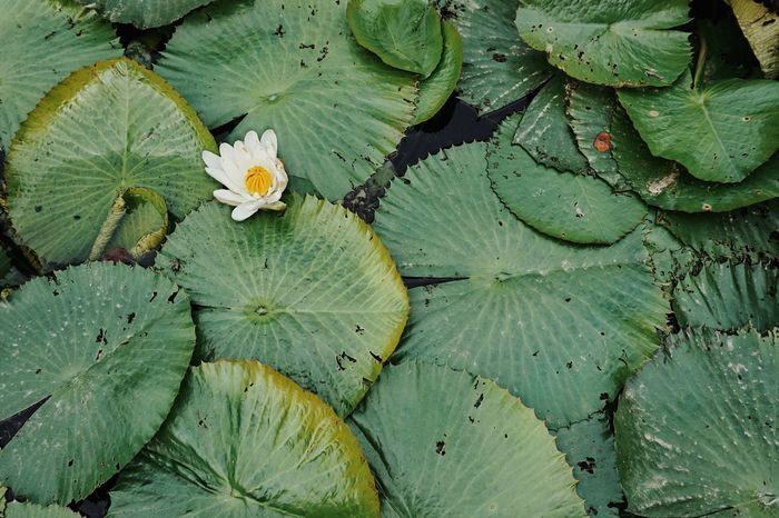 | Orto Botanico | EyeEm Italy Orto Botanico Padova Water Backgrounds Leaf Full Frame Close-up Green Color Lily Pad Water Lily Lily Lotus Water Plant Floating On Water Plant Part Floating Autumn Mood