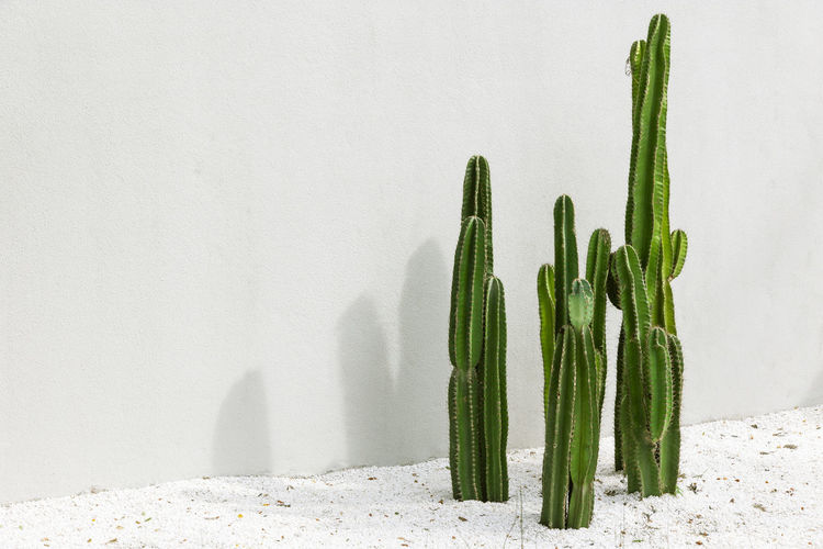 Cactus on white background.hipster style. Green Color Vegetable No People Food And Drink Food Freshness Healthy Eating Copy Space Studio Shot Still Life Wall - Building Feature Indoors  Nature White Color Asparagus White Background Wellbeing Close-up Raw Food Group Of Objects Cactus Minimalism Botanical Green Summer Travel Tropical Climate Fun Flora Design Fresh Plant Organic Hipster Abstract Vivd Modern Stylish Raw Tree Western
