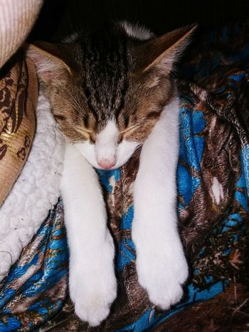 Pets Domestic Animals Mammal Close-up Camouflage One Animal Lying Down Domestic Cat EyeEm Selects