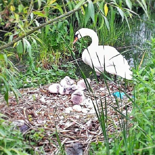 Spotted this wee family when out for a walk earlier. Swan Lurgan Lurganpark Nest cygnet egg
