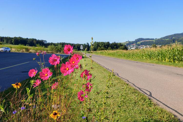 Pink flowering plants by road on field against sky