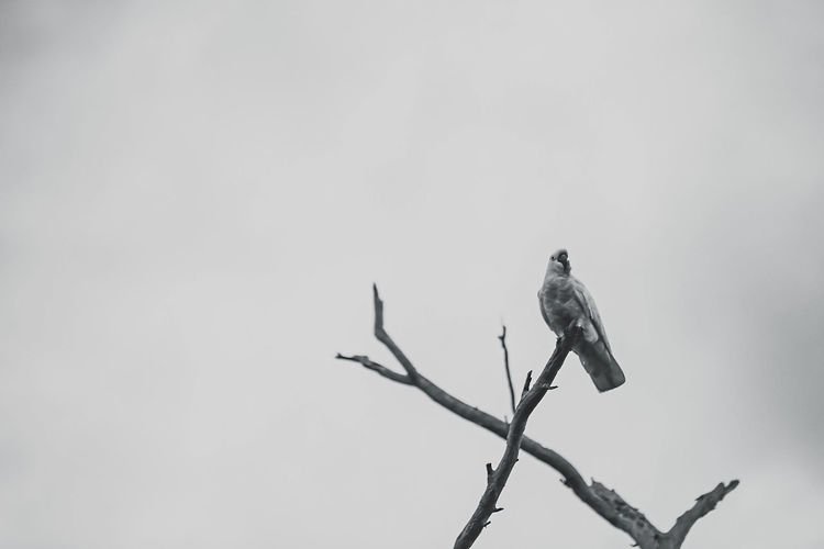 Low angle view of cockatoo perching on twig against sky