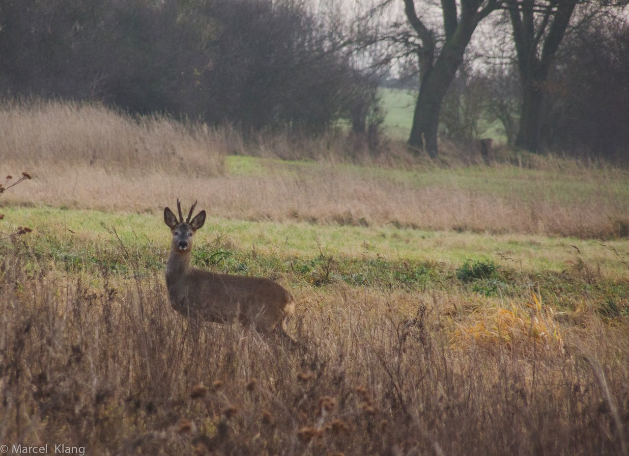animals in the wild, nature, animal themes, grass, animal wildlife, deer, field, outdoors, mammal, no people, one animal, stag, day, landscape, beauty in nature, tree