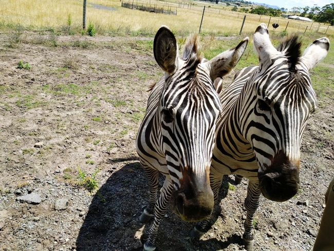 Zebra Animal Themes Animals In The Wild Animal Wildlife Nature Field Outdoors