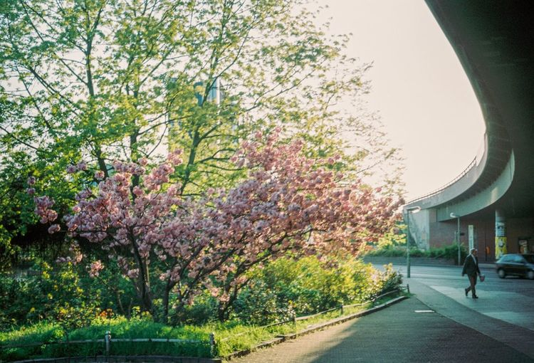 View of flowering trees by road