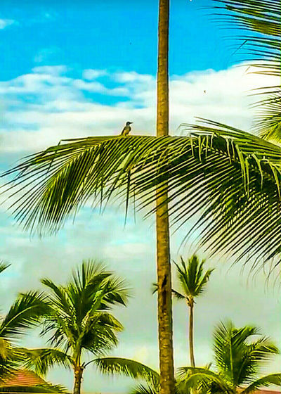 Nature_ Collection  Eyem Gallery Blue Sky Sunny Day Looking Up Outdoor Photography Eyem Nature Lovers  Palm Trees Blue Sky And Clouds Bird In A Tree Bird Holiday Photo Dominican Republic Holiday Photos Holiday Memories Colours Of Nature Eyeem Market Eyeem Marketplace