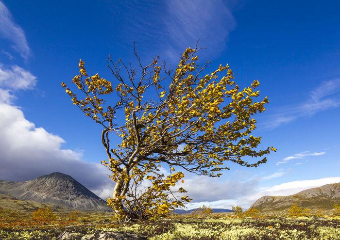 Mountain birch Beauty In Nature Birch Branch Day Landscape Mountain Mountain Birch Mountain Peak Mountain Range Nature No People Outdoors Scenics Sky Sunset Tranquility Tree