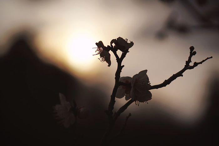"Pray For Japan ""TSUNAMI and The Great East Japan Earthquake"" on 11.03.2011 5 years ago.「光の射す方へ」🙏✨💪🏻 Prayforjapan NeverForget Tsunami 3.11 Plum Blossom Sillouette Sunlight Plum Flower Tribute Spring Flowers Japanese Plum Blossom EyeEm Nature Lover Q Sunset Silhouettes"
