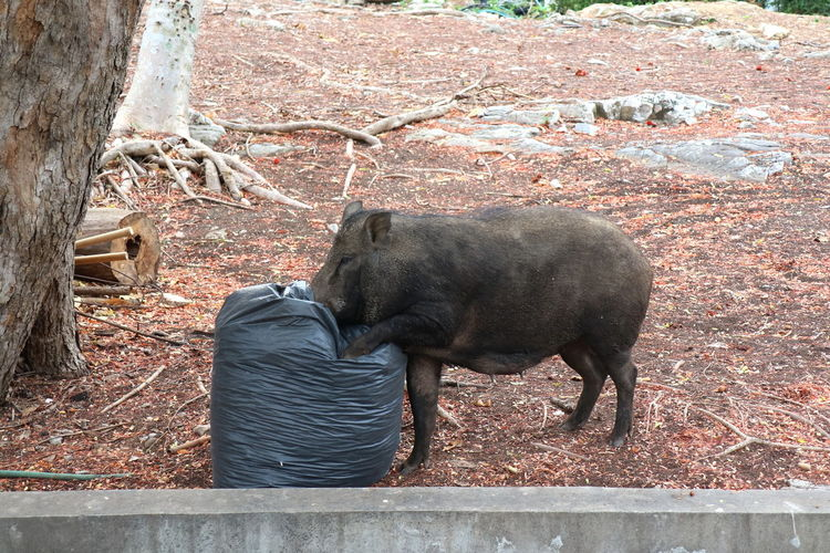 Wild boar scours for food from black garbage bags at public park. animal and environment concept.