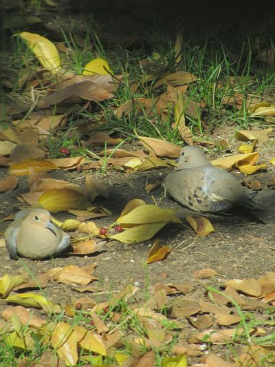 Birds🐦⛅ Wild Birds Bird Watching Bird Photography Nature Outdoors Day No People Wildlife Leaves🌿 Fall Leaves Mourning Doves Doves Birds Resting