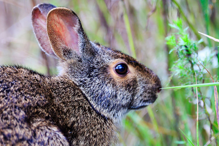 Animal Animal Body Part Animal Eye Animal Head  Animal Themes Animal Wildlife Animals In The Wild Close-up Day Focus On Foreground Herbivorous Mammal Nature No People One Animal Outdoors Plant Profile View Rabbit Rabbit - Animal Rodent Side View Vertebrate Whisker