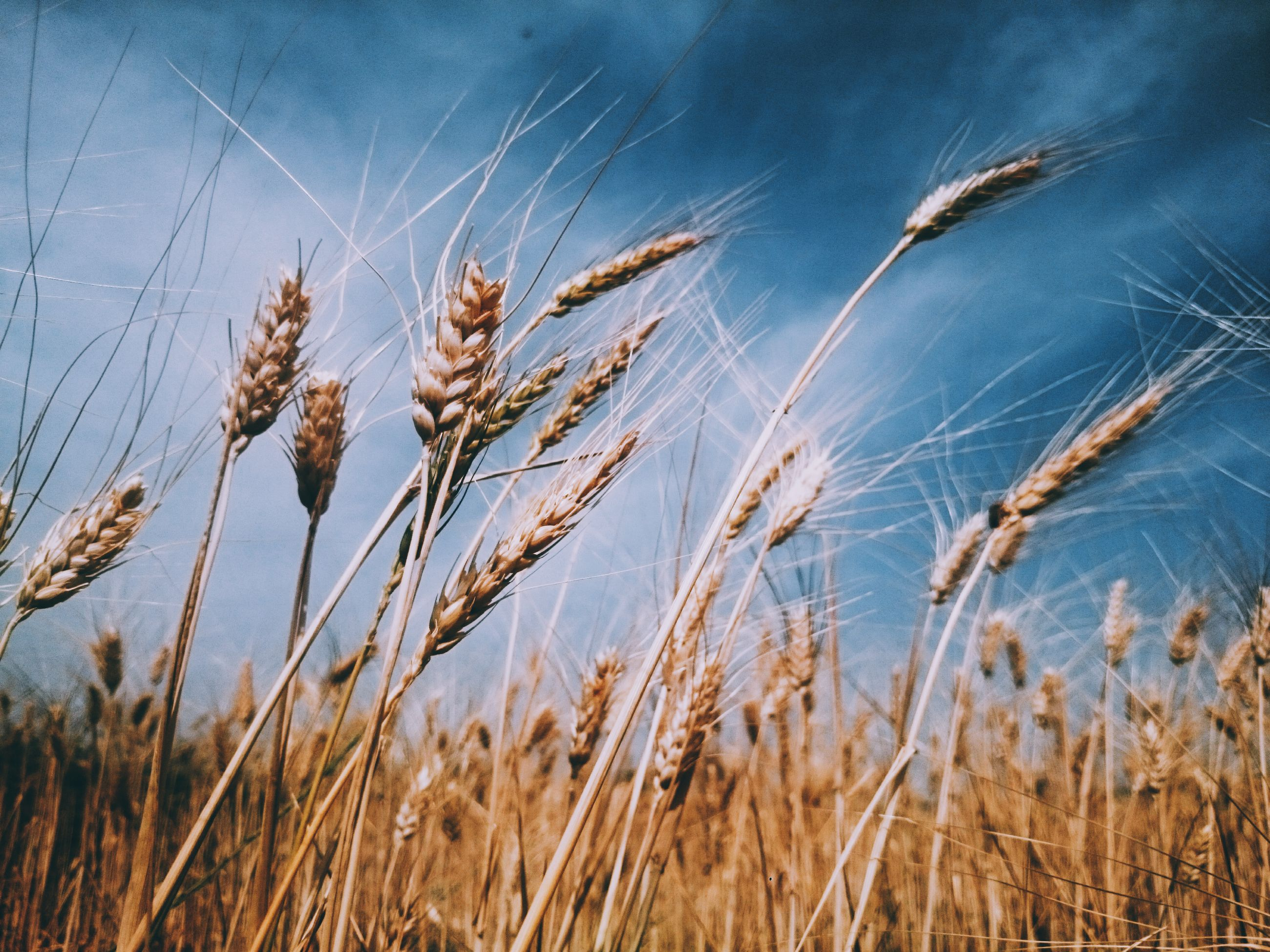 growth, nature, plant, crop, field, cereal plant, agriculture, wheat, no people, outdoors, tranquility, sky, close-up, day, beauty in nature