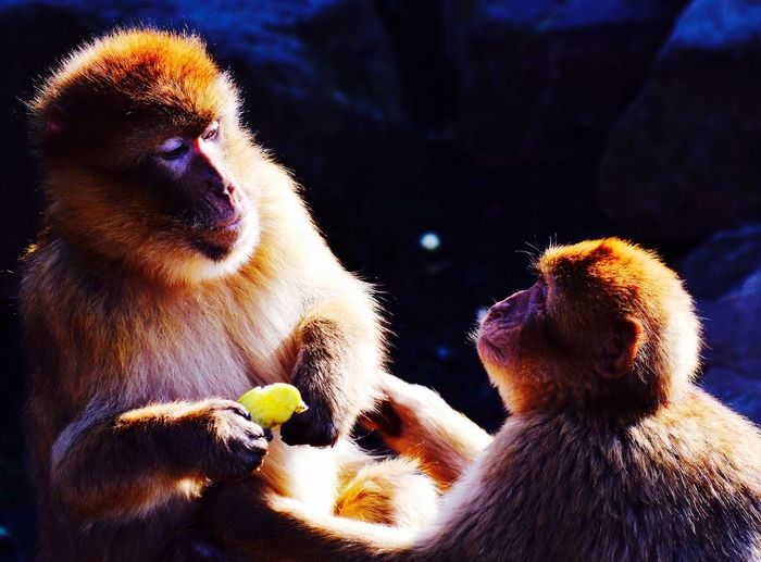 Sharing food Animal Themes Mammal Young Animal Primate Monkey Animals In The Wild Close-up Brown Travel