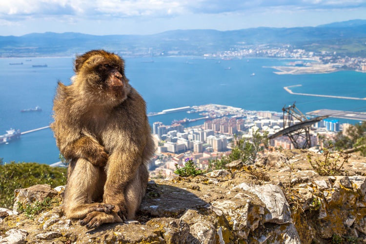 Monkey on cliff in gibraltar