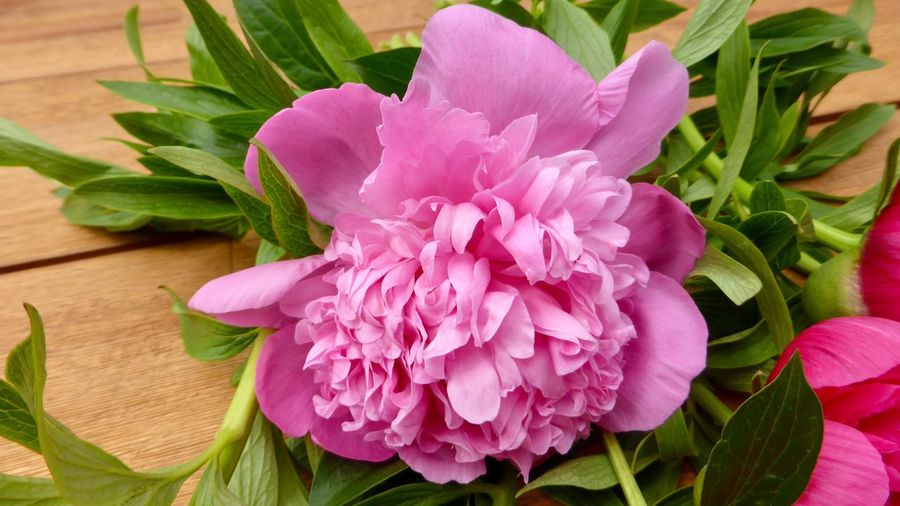 Pink Peony on a wooden Surface Pink Pink Color Garden Lifestyle Still Life Photography Peony Blossom Peony Flower Flowering Plant Flower Plant Leaf Freshness Plant Part Petal Pink Color Close-up Green Color Growth Beauty In Nature Flower Head Day