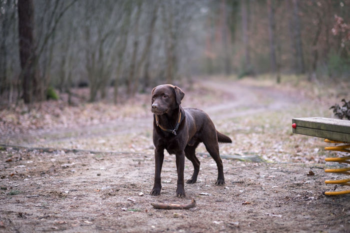 Labrador Brown Labrador  EyeEm Selects Pets Dog Animal Themes Fall