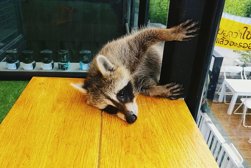 Raccoon Animal Raccoon Raccoon Lover Raccoon Time Indoors  No People Day EyeEmNewHere