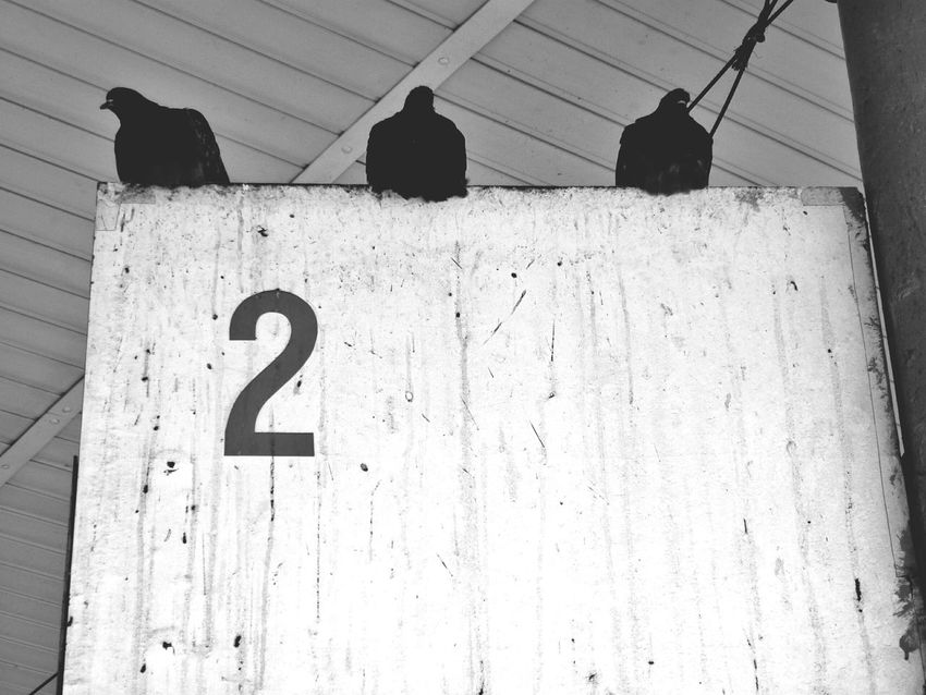 Breaking the rules Penza Pidgeons Black And White