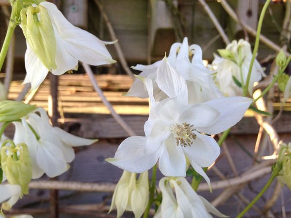 Aquilegia Growing Our Own