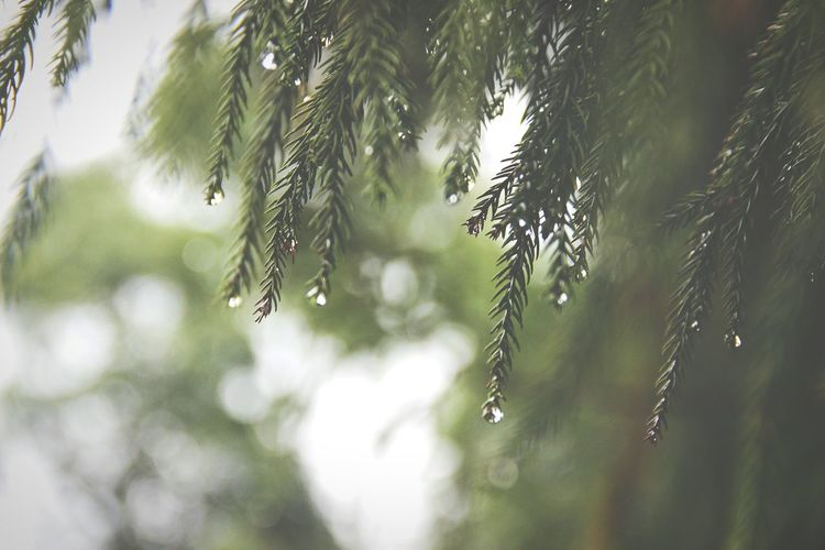 A misty afternoon in Meghalaya India. Tree Branch Leaf Trapped Close-up Dew RainDrop Blade Of Grass Rainy Season Monsoon Droplet Wet Rain