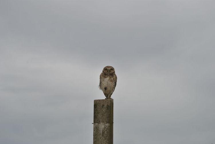 Owl One Animal Beauty In Nature Freedom Owls Owl Photography Owl Portrait. Owllife Animal OpenEdit