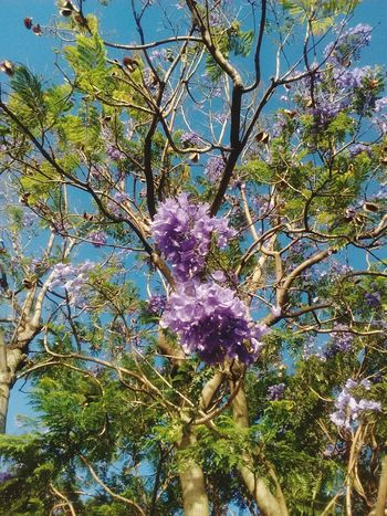 Jacaranda Tree Nature Branch Beauty In Nature Growth Outdoors No People Day Low Angle View Green Color Full Frame Sky Backgrounds Blue Leaf Close-up Freshness