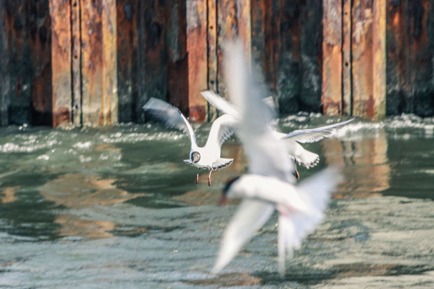 Harbor Harbour Harbour View Seagulls Animal Themes Animal Wildlife Animals In The Wild Bird Blurred Motion Day Flapping Flying Mid-air Motion Nature No People Outdoors Spread Wings Water Waterfront