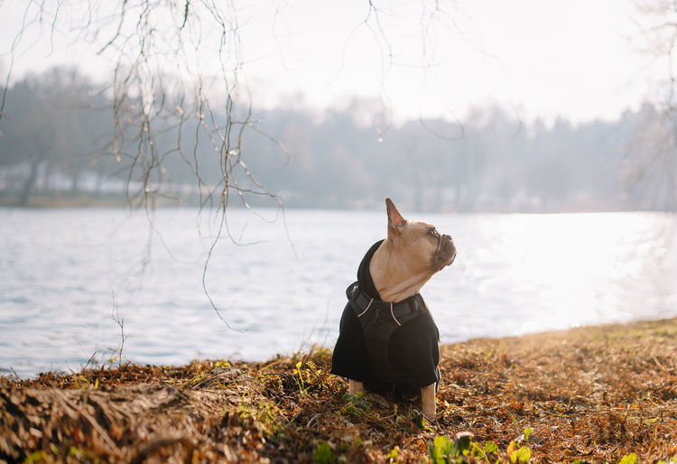 French bulldog dog sitting on lakeshore