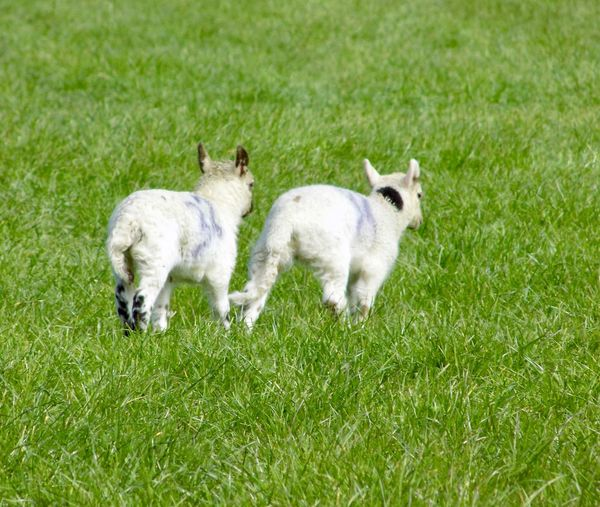 2 Lambs Animal Themes Cute Day Grass Lamb Nature No People Outdoors Togetherness Two Animals