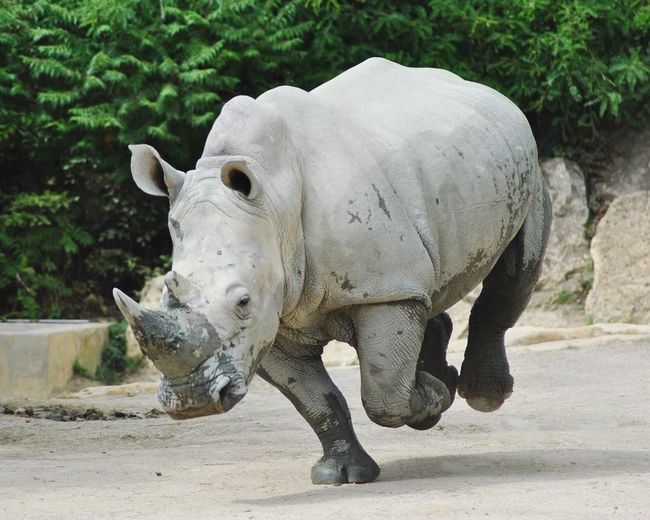 Zoo D'amneville Animal Animals Rhinoceros Close-up Zoo Endangered Species