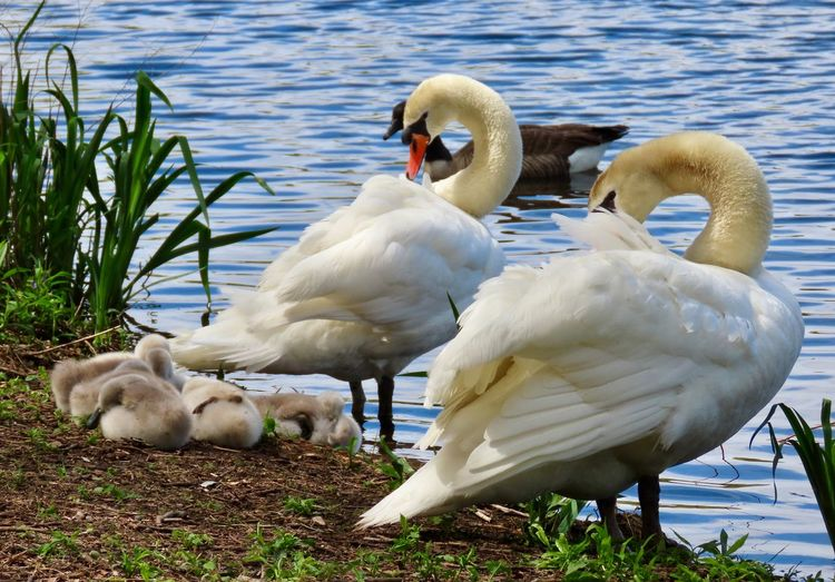 Swan family preening birds of EyeEm closeup water ripples outdoors beauty in nature animal themes Water Bird White Color Animal Family Mute Swan