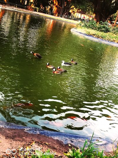 Animal Themes Swimming Beauty In Nature Nature Duck Floating On Water Zoo Animals  Zoophotography Nature Animals In Captivity Essence Of Summer Photograph Beauty In Nature